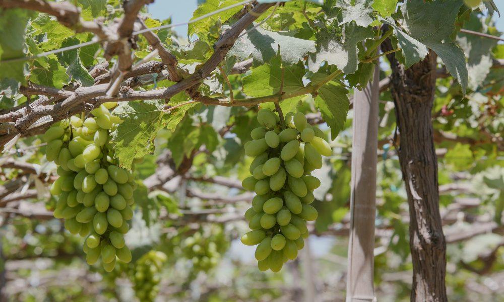 Winogrona w winnicy