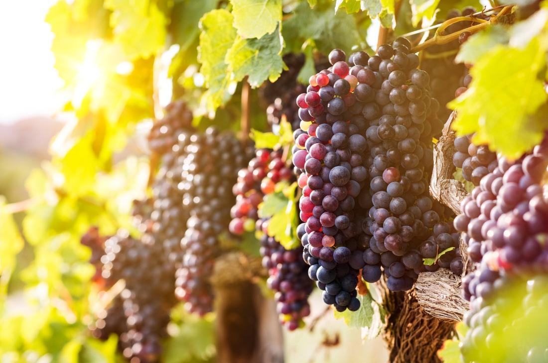 Winogrona w winnicy w Zielonej Górze